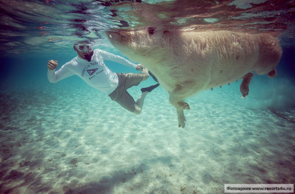 Купание со свиньями на Багамах